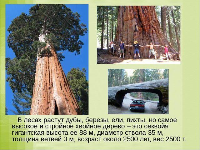 В лесах растут дубы, березы, ели, пихты, но самое высокое и стройное хвойное...