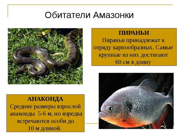 Обитатели Амазонки АНАКОНДА Средние размеры взрослой анаконды 5-6 м, но изред...