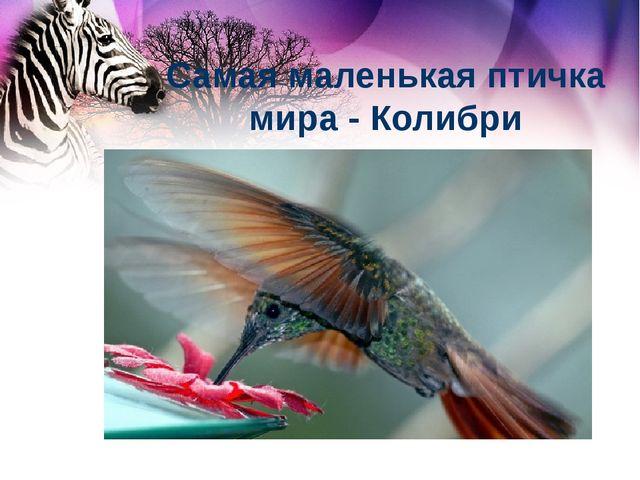 Самая маленькая птичка мира - Колибри