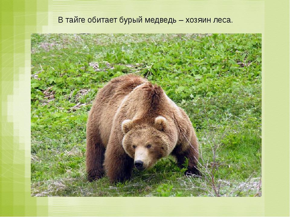 В тайге обитает бурый медведь – хозяин леса.