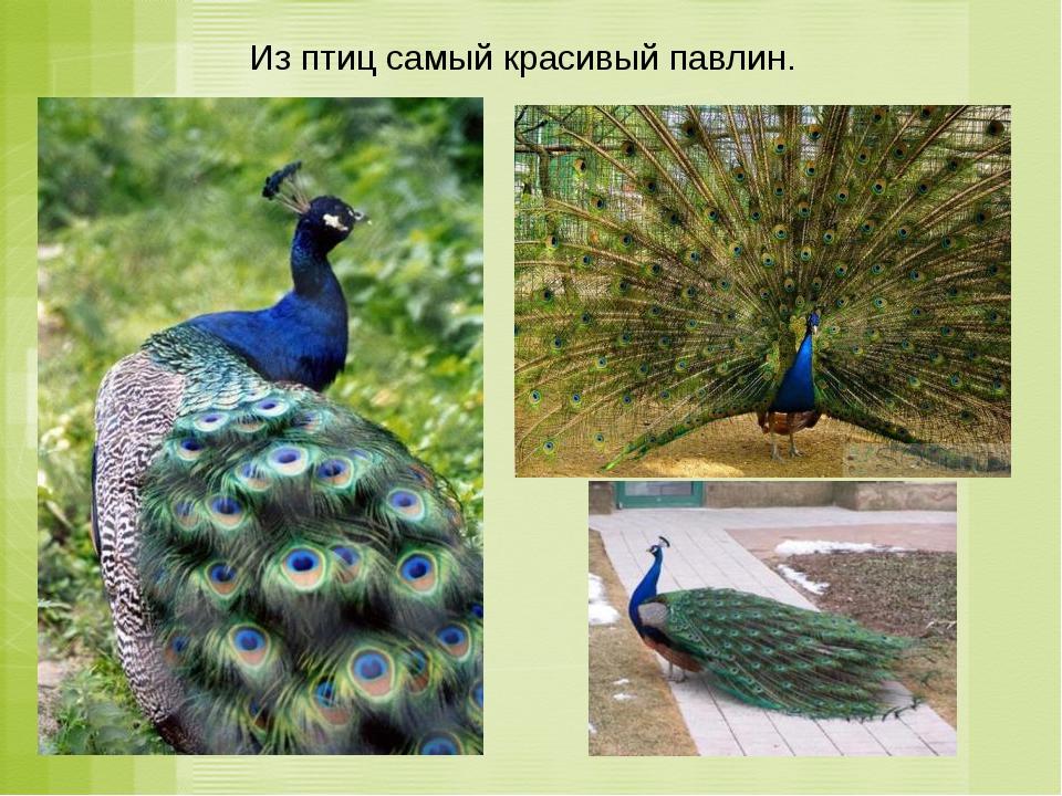 Из птиц самый красивый павлин.