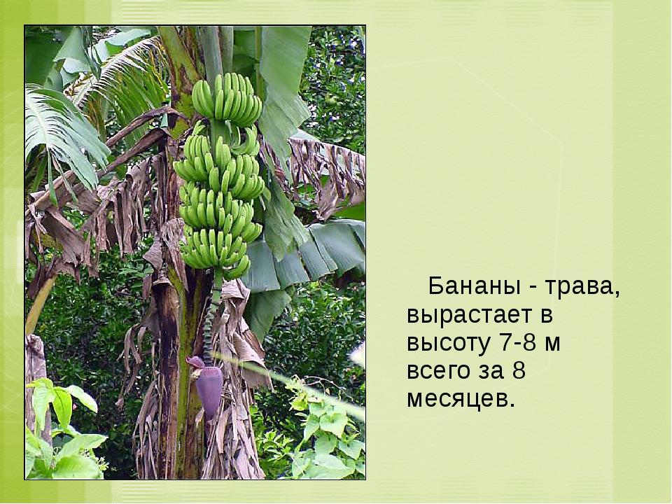 Бананы - трава, вырастает в высоту 7-8 м всего за 8 месяцев.
