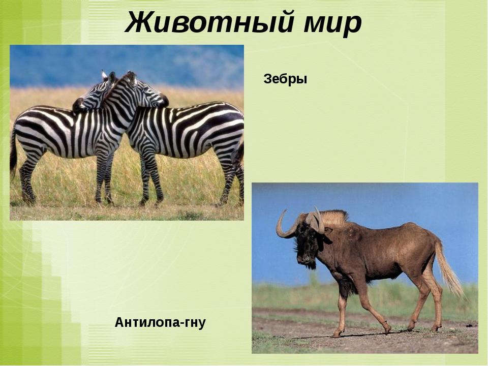 Животный мир Зебры Антилопа-гну