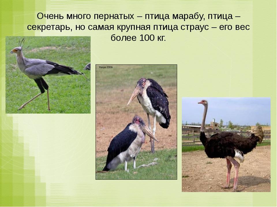 Очень много пернатых – птица марабу, птица – секретарь, но самая крупная птиц...