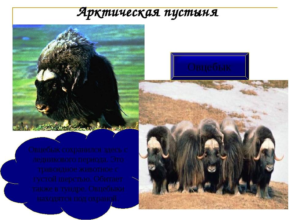 Овцебык сохранился здесь с ледникового периода. Это травоядное животное с гус...