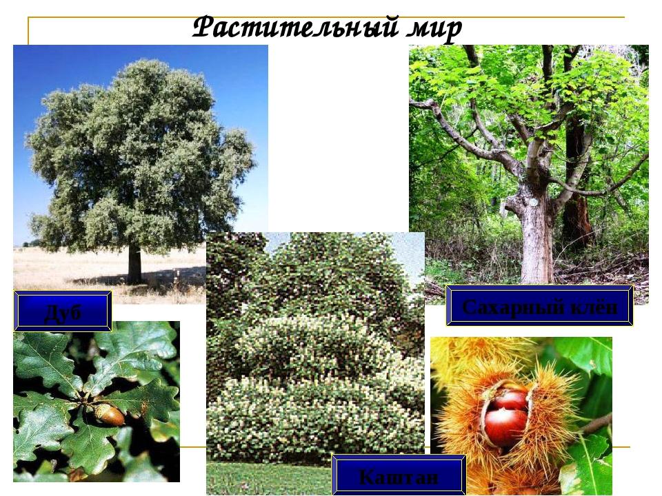 Растительный мир Дуб Сахарный клён Каштан