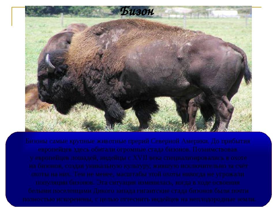 Бизон Бизоны самые крупные животные прерий Северной Америки. До прибытия евро...