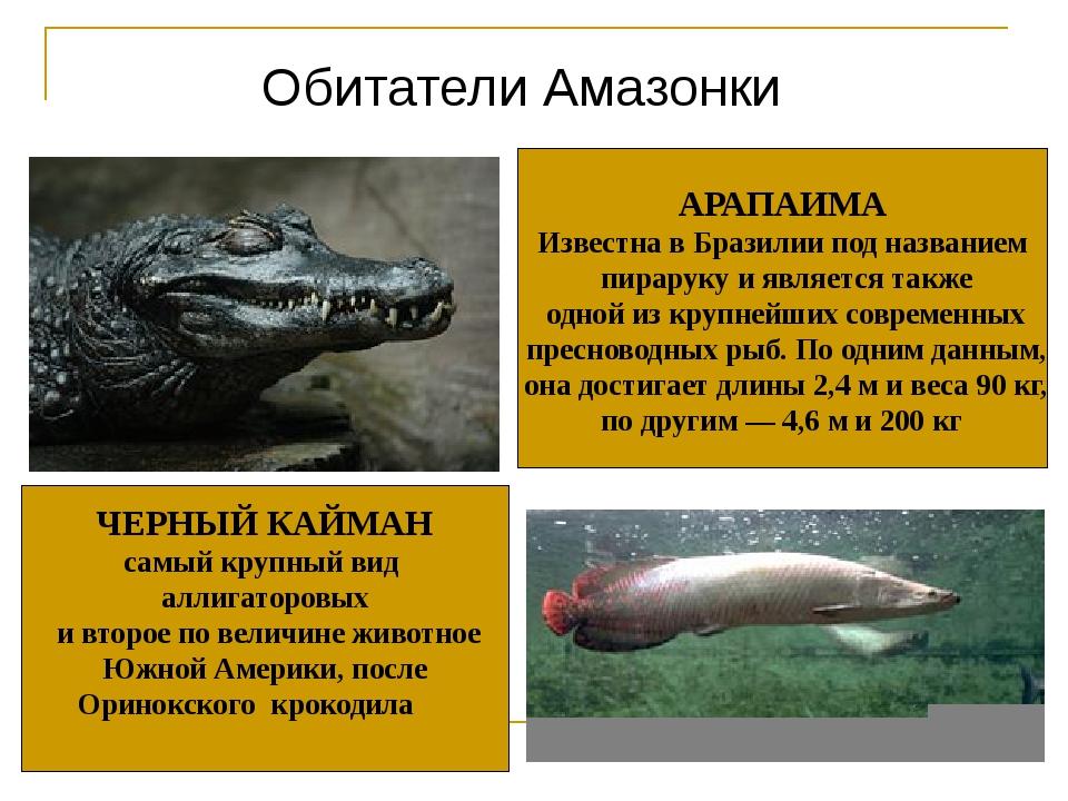 Обитатели Амазонки ЧЕРНЫЙ КАЙМАН самый крупный вид аллигаторовых и второе по...