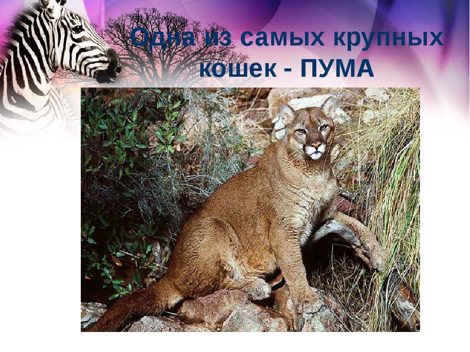 Одна из самых крупных кошек - ПУМА