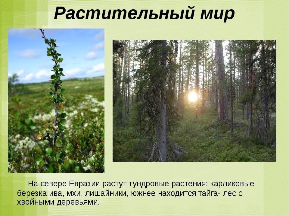 Растительный мир На севере Евразии растут тундровые растения: карликовые бере...