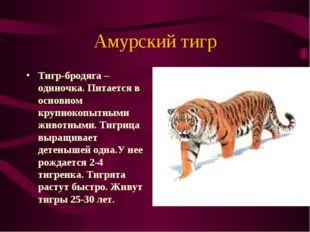 Амурский тигр Тигр-бродяга – одиночка. Питается в основном крупнокопытными жи