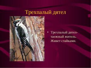 Трехпалый дятел Трехпалый дятел-таежный житель. Живет стайками.