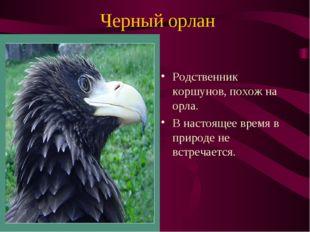 Черный орлан Родственник коршунов, похож на орла. В настоящее время в природе