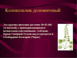 Kолокольчик доломитовый Это красиво цветущее растение 30-45 (60) см высотой,