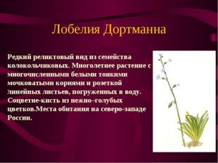 Лобелия Дортманна . Редкий реликтовый вид из семейства колокольчиковых. Много