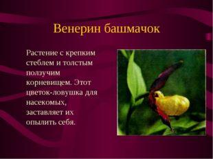 Венерин башмачок Растение с крепким стеблем и толстым ползучим корневищем. Э