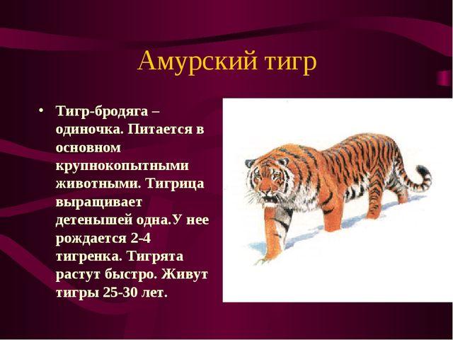 Амурский тигр Тигр-бродяга – одиночка. Питается в основном крупнокопытными жи...
