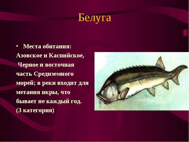 Белуга Места обитания: Азовское и Каспийское, Черное и восточная часть Средиз...