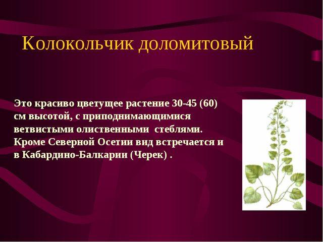 Kолокольчик доломитовый Это красиво цветущее растение 30-45 (60) см высотой,...