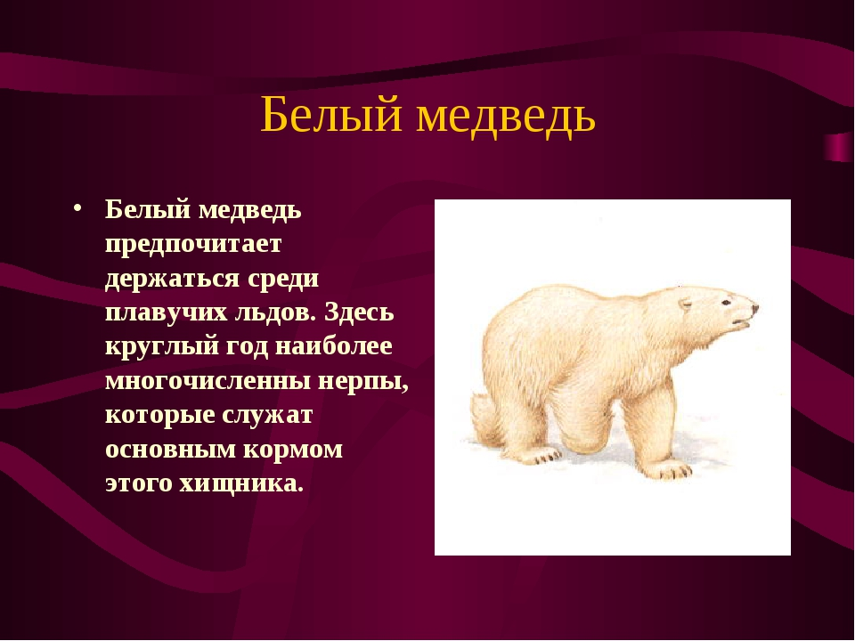 Белый медведь Белый медведь предпочитает держаться среди плавучих льдов. Здес...