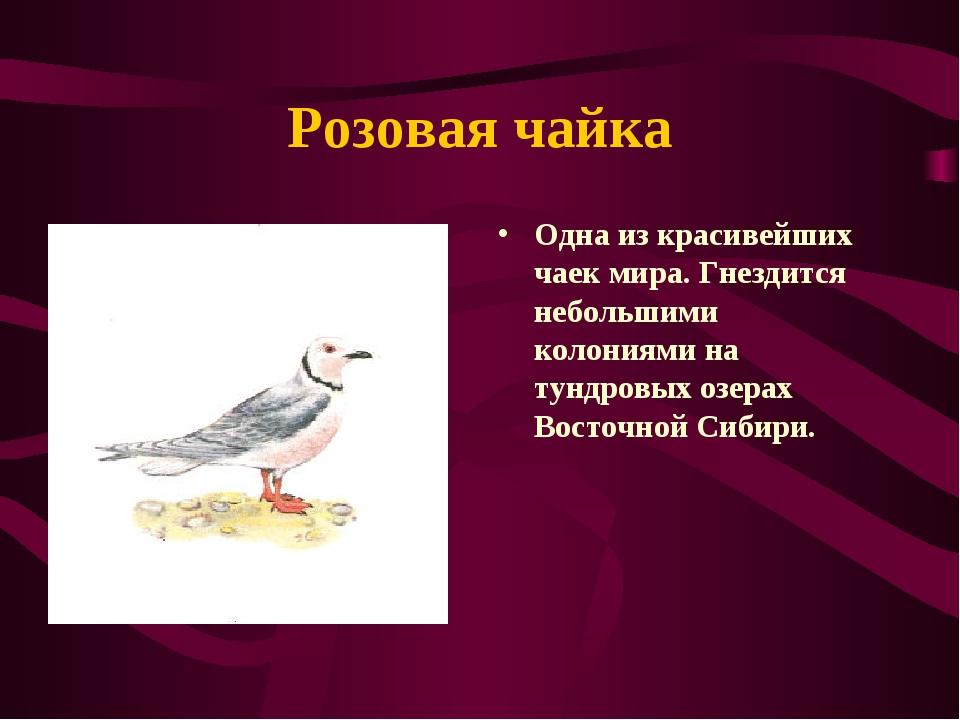 Розовая чайка Одна из красивейших чаек мира. Гнездится небольшими колониями н...