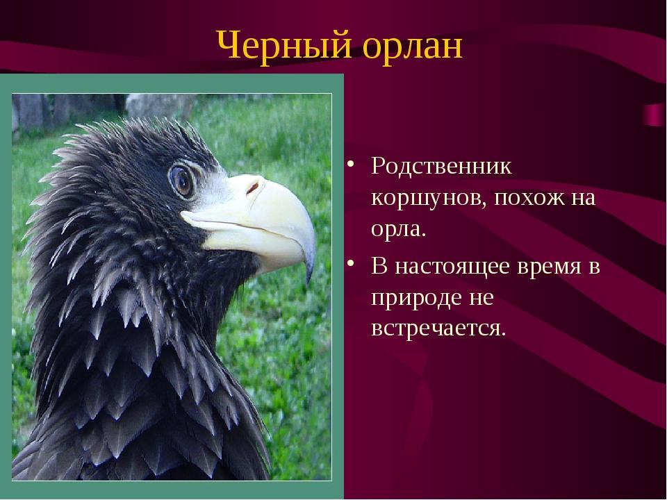 Черный орлан Родственник коршунов, похож на орла. В настоящее время в природе...
