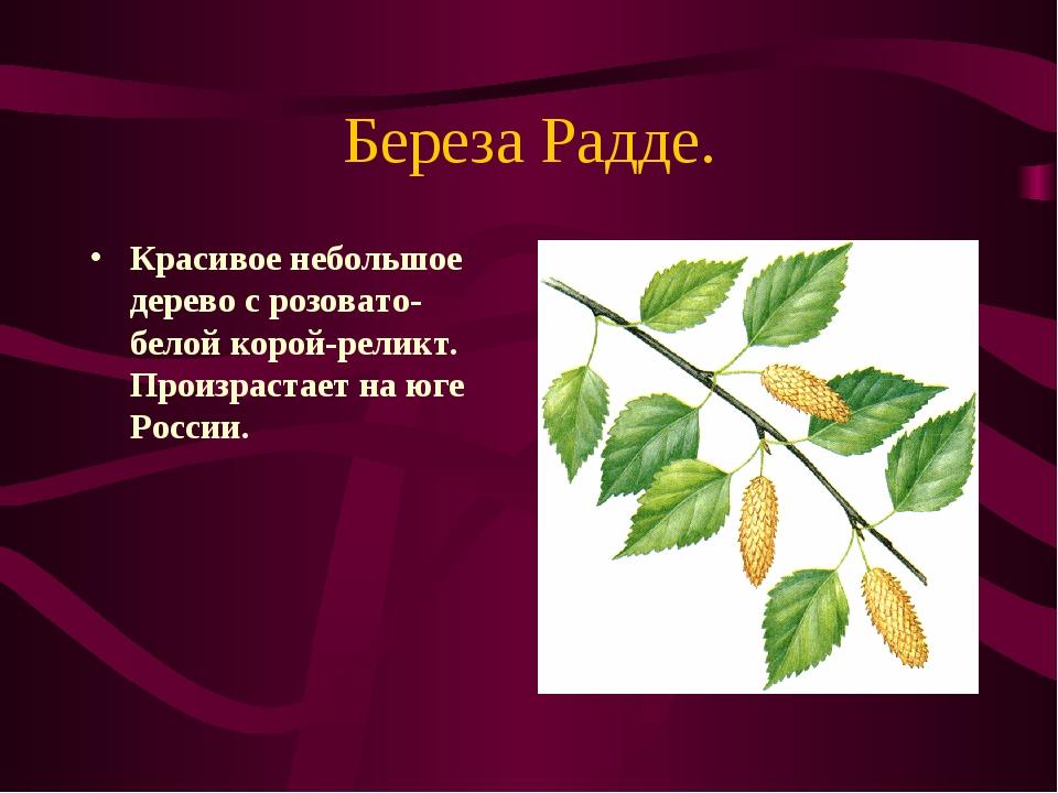 Береза Радде. Красивое небольшое дерево с розовато-белой корой-реликт. Произр...