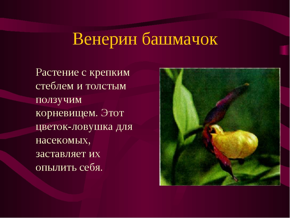 Венерин башмачок Растение с крепким стеблем и толстым ползучим корневищем. Э...