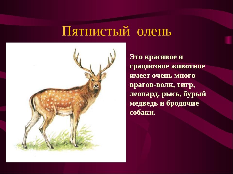 Пятнистый олень Это красивое и грациозное животное имеет очень много врагов-в...