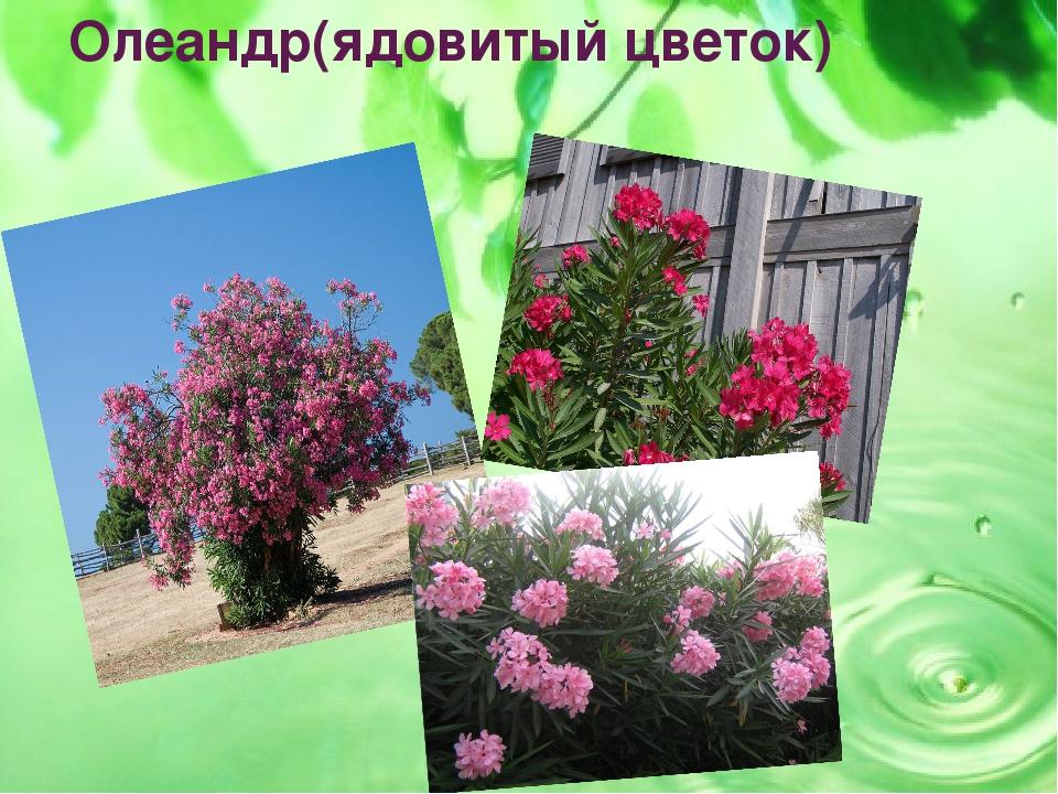 Олеандр(ядовитый цветок)
