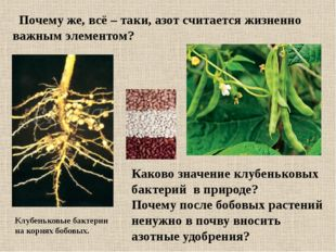 Каково значение клубеньковых бактерий в природе? Почему после бобовых растени