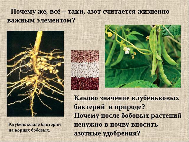 Каково значение клубеньковых бактерий в природе? Почему после бобовых растени...