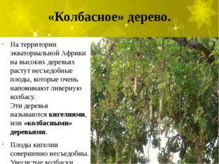 «Колбасное» дерево. На территории экваториальной Африки на высоких деревьях р