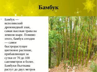 Бамбук Бамбук — исполинский древовидный злак, самая высокая трава на земном ш