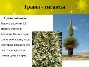 Травы - гиганты Пуайя Раймонда. Высота растения 12 метров. Растет в Боливии.