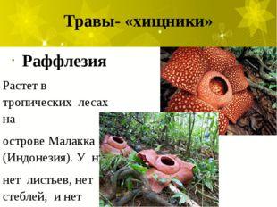 Травы- «хищники» Раффлезия Растет в тропических лесах на острове Малакка (Инд