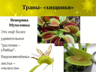 """Травы- «хищники» Венерина Мухоловка Это ещё более удивительное """"растение - уб"""
