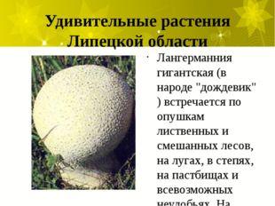 """Удивительные растения Липецкой области Лангерманния гигантская (в народе """"дож"""