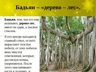 Бадьян – «дерево – лес». Баньян, или, как его еще называют,дерево-лес, имеет