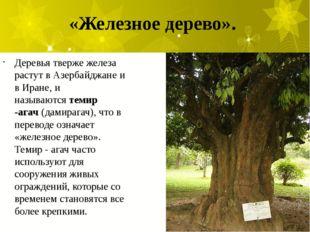 «Железное дерево». Деревья тверже железа растут в Азербайджане и в Иране, и