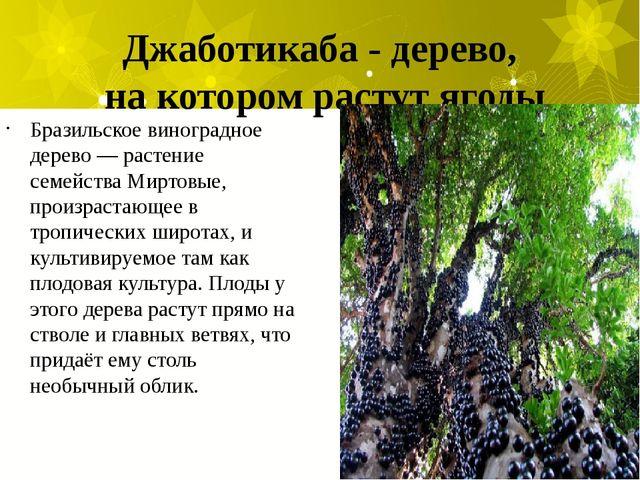 Джаботикаба - дерево, на котором растут ягоды Бразильское виноградное дерево...