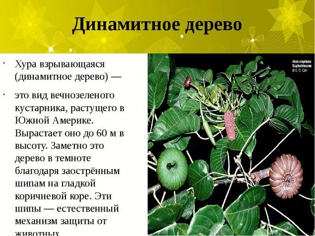 Динамитное дерево Хура взрывающаяся (динамитное дерево) — это вид вечнозелено...