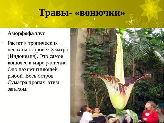 Травы- «вонючки» Аморфофаллус Растет в тропических лесах на острове Суматра (...