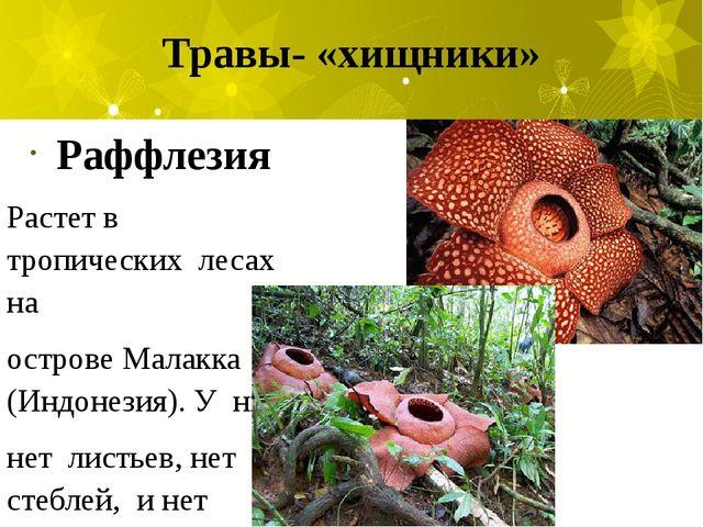 Травы- «хищники» Раффлезия Растет в тропических лесах на острове Малакка (Инд...