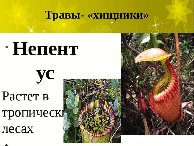 Травы- «хищники» Непентус Растет в тропических лесах Азии (Индонезия).Это сам...
