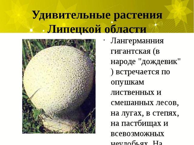 """Удивительные растения Липецкой области Лангерманния гигантская (в народе """"дож..."""
