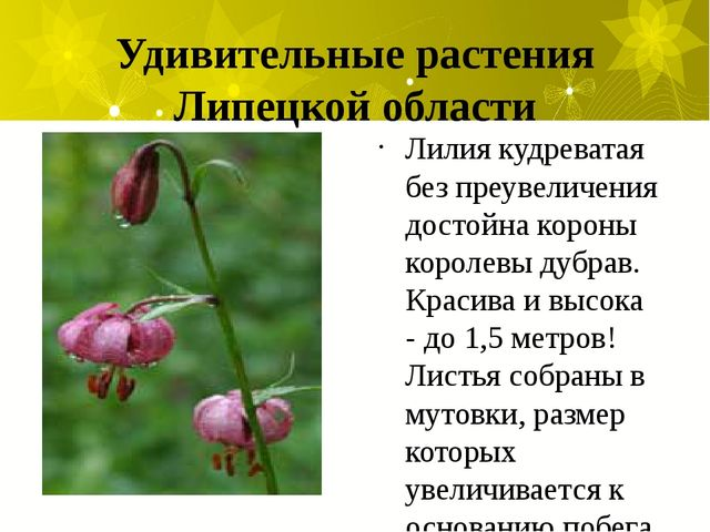 Удивительные растения Липецкой области Лилия кудреватая без преувеличения дос...