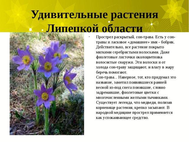 Удивительные растения Липецкой области Прострел раскрытый, сон-трава. Есть у...