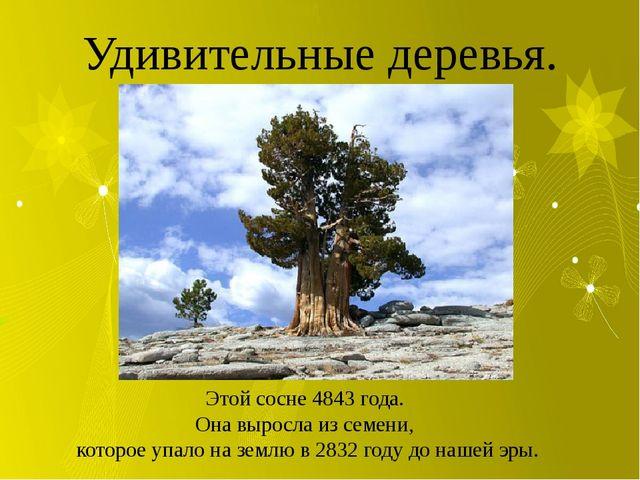 Удивительные деревья. Этой сосне 4843 года. Она выросла из семени, которое у...