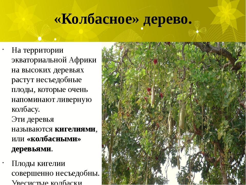 «Колбасное» дерево. На территории экваториальной Африки на высоких деревьях р...